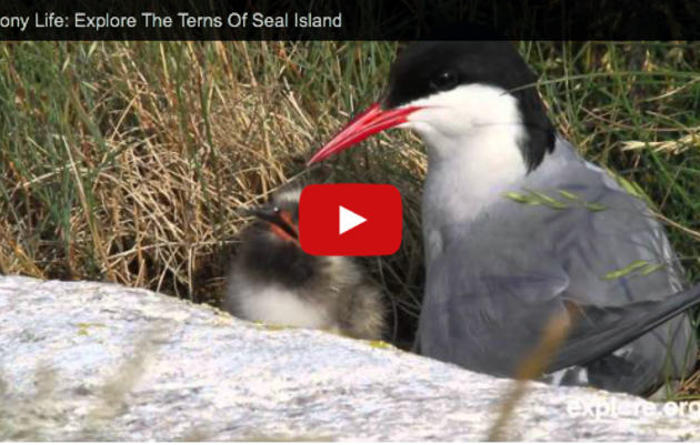 Colony Life: Explore The Terns Of Seal Island