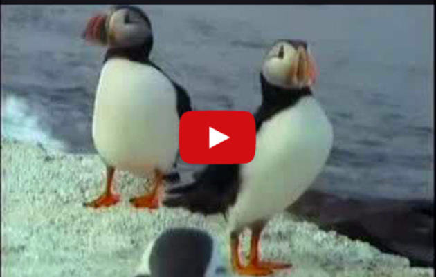 Puffin Cam Highlights