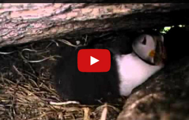 "A short montage of puffins and terns in action, from the film ""Fish Out of Water"""