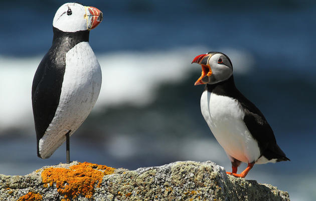 Atlantic Puffin Courtship Behavior and Decoys