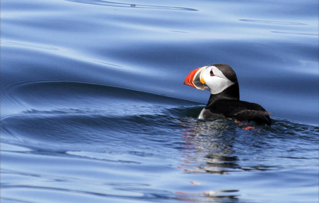 Saving the Winter Home of Maine Puffins
