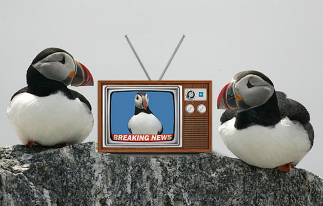 jamaican hair styles seabirds in the news audubon project puffin 4481 | puffintv