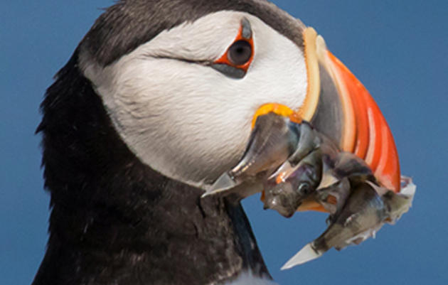 Is the Acadian Redfish Helping Puffins Adapt to Climate Change?