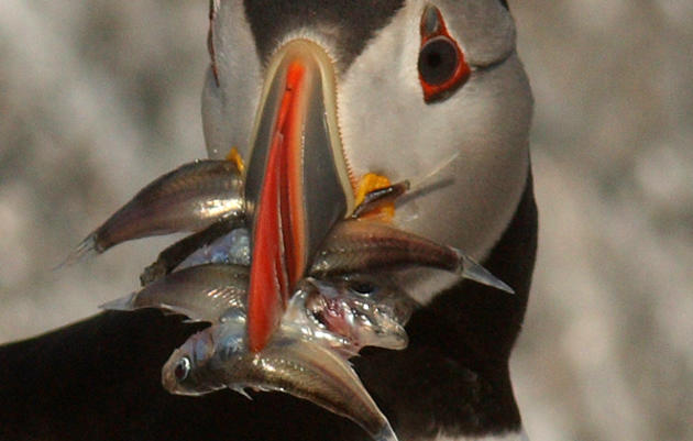 What Puffins Eat