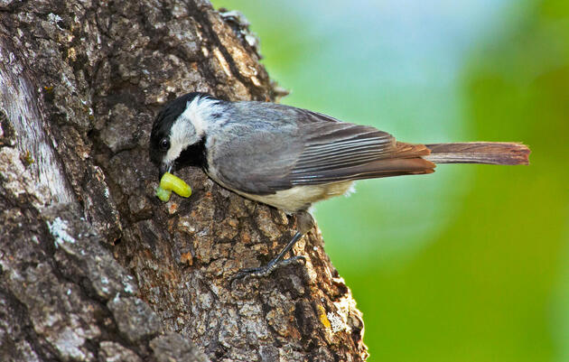 New Research Further Proves Native Plants Offer More Bugs for Birds