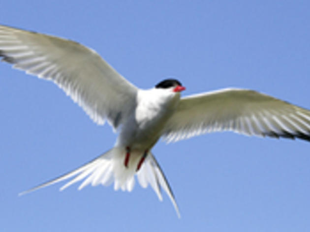 Research Reveals Incredible Migratory Journey of Arctic Terns
