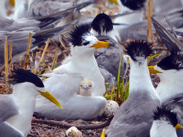 A Big Comeback for Chinese Crested Terns in the Jiushan Islands, China