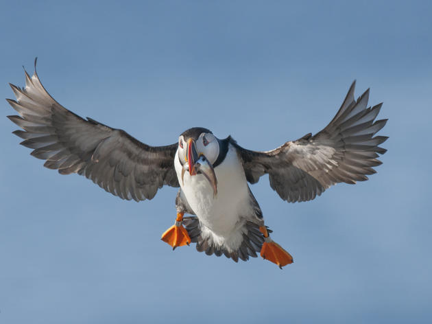 Maine Puffins On The Rebound