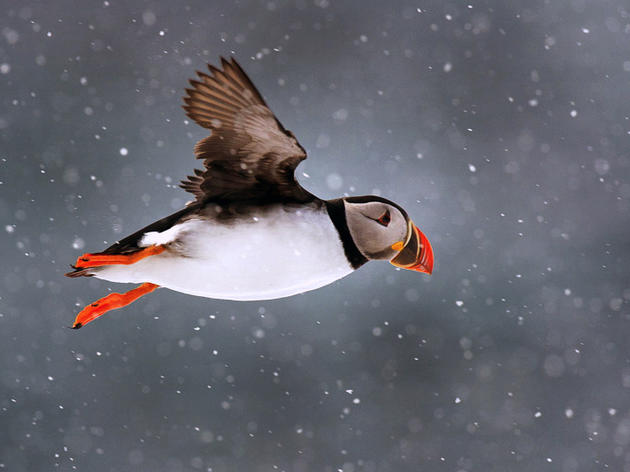 Winter Home of Maine Puffins Revealed