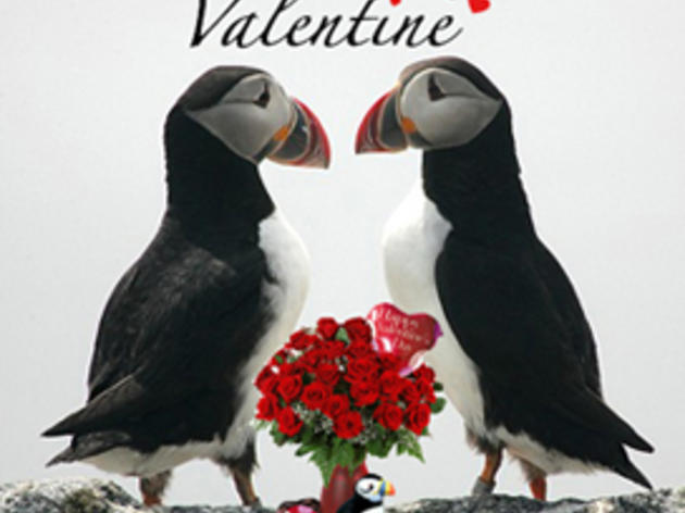 Adopt a Puffin for a Special Valentine!
