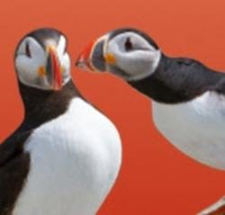 Two Atlantic Puffins