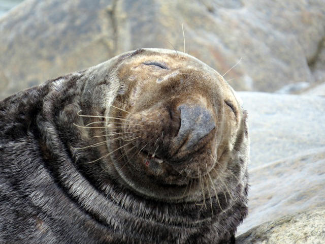 Sleeping female adult gray seal by Sue Schubel