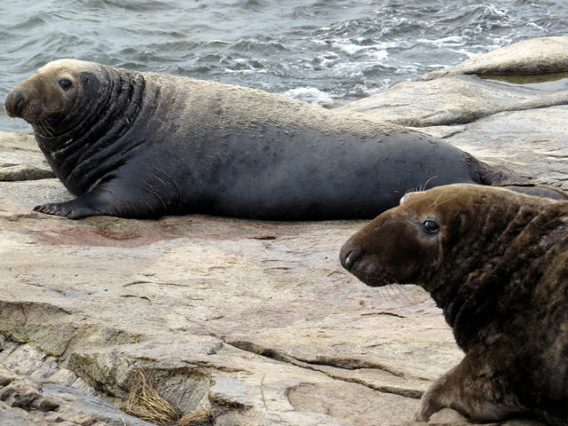 Adult Gray Seal Males by Sue Schubel