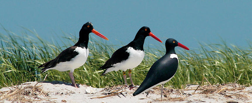 American Oystercatcher Main Page Photo