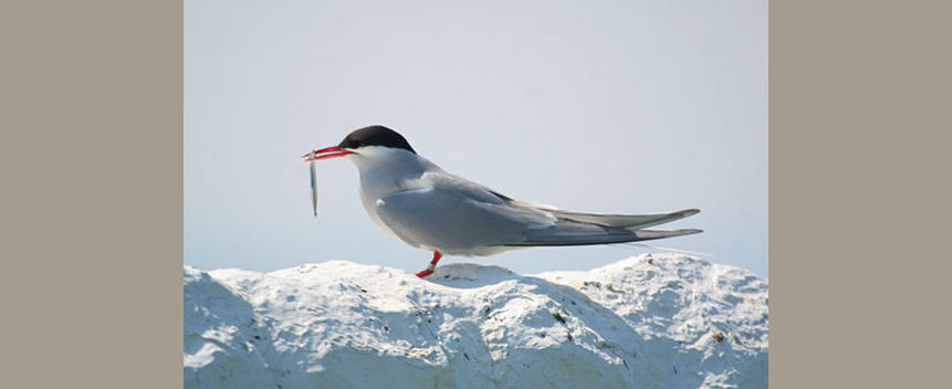 Arctic Tern by Mad River Decoy