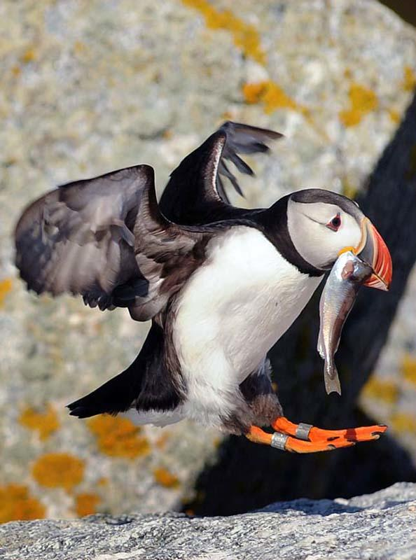 Atlantic Puffin with Haddock