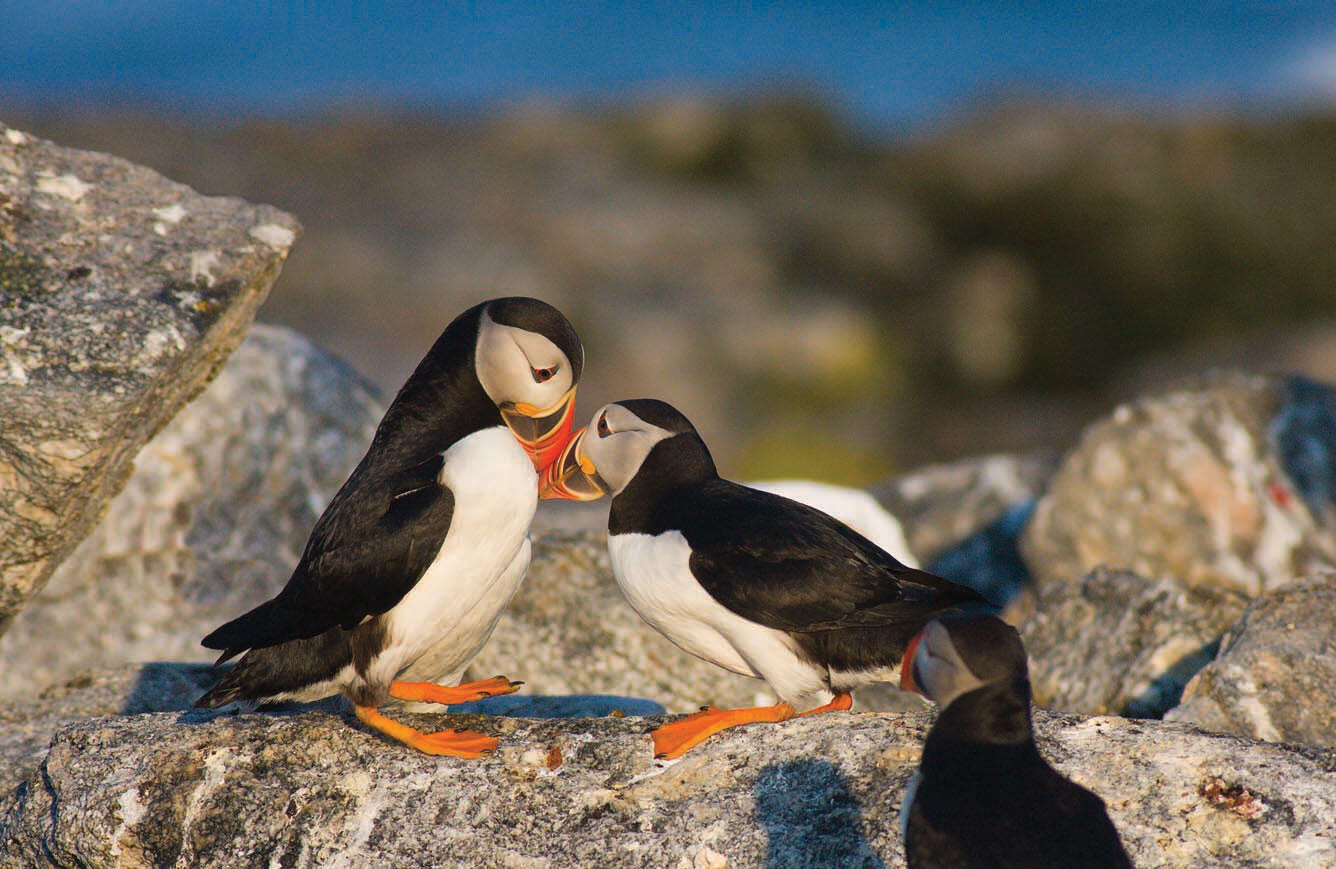 Atlantic Puffins Billing