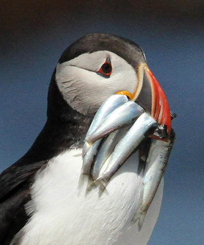 Atlantic Puffin With Many Large Herring by Steve Kress