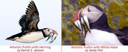 Atlantic Puffin with Herring and with Hake