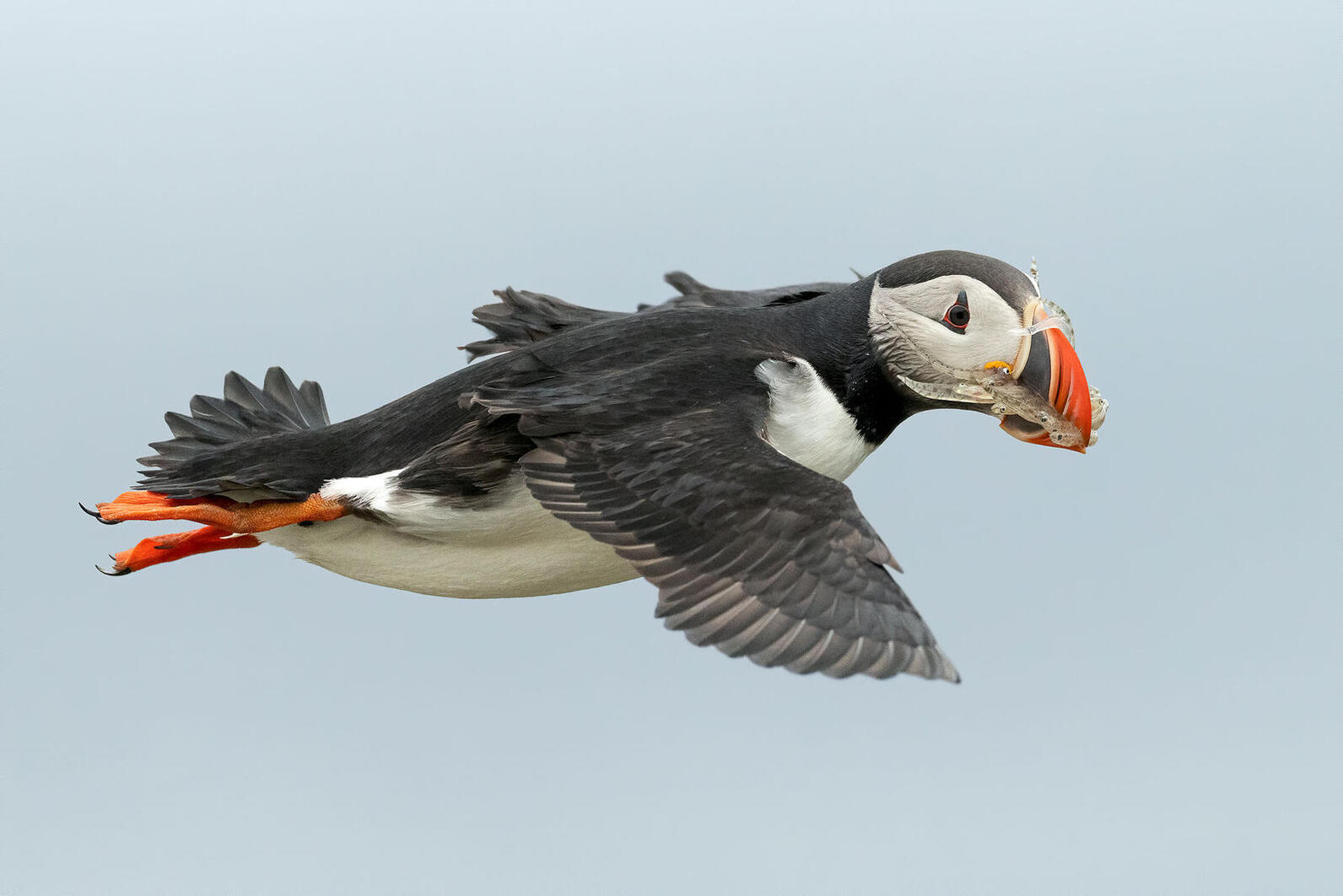 Atlantic Puffin by Ann Pacheco/Audubon Photography Awards