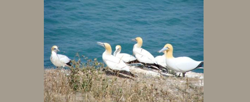 Australasian Gannet Main Page Photo