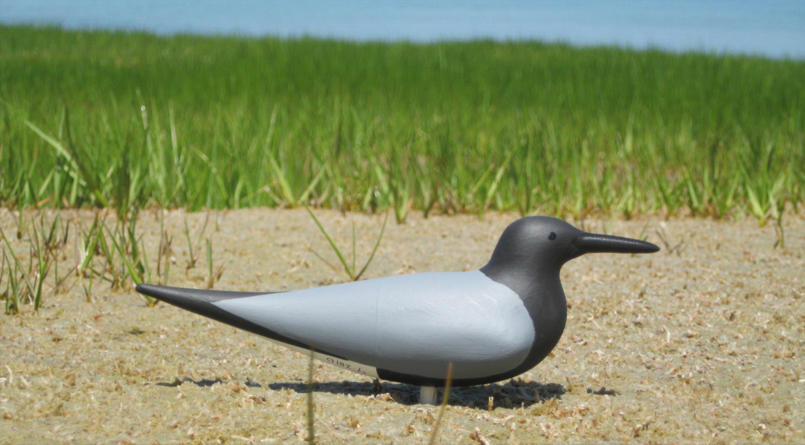 Black Tern Main Page Photo