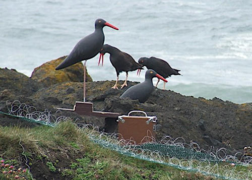 Black Oystercatcher Main Page Photo