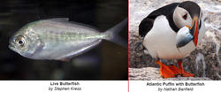 Live Butterfish and Atlantic Puffin with Butterfish