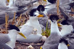 Chinese Crested Tern Chick With Adult