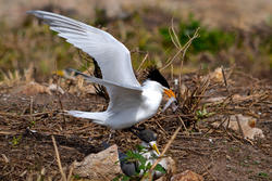 Chinese Crested Tern Courtship Feeding