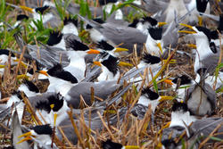 Chinese Crested Tern Nest Initiation
