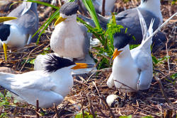 Chinese Crested Tern Pair with Egg and Decoy