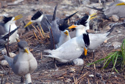 Chinese Crested Tern with Decoys and Chick