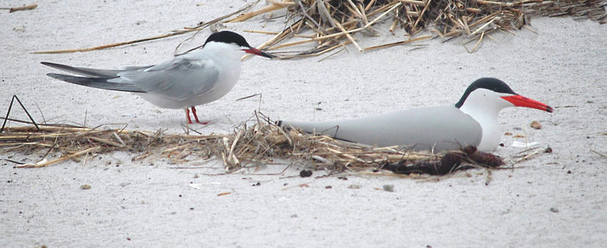 Common Tern Main Page Photo
