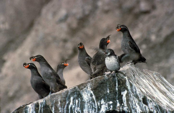 Crested Auklet Main Page Photo