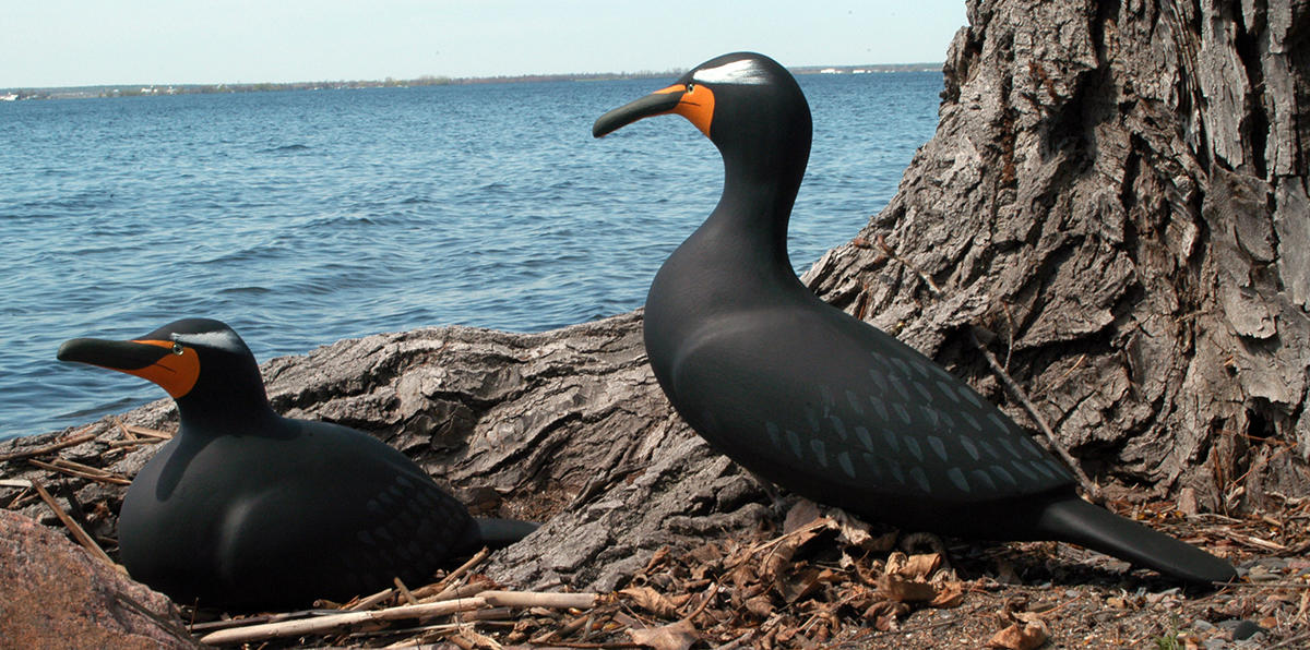 Double-crested Cormorant Main Page Photo