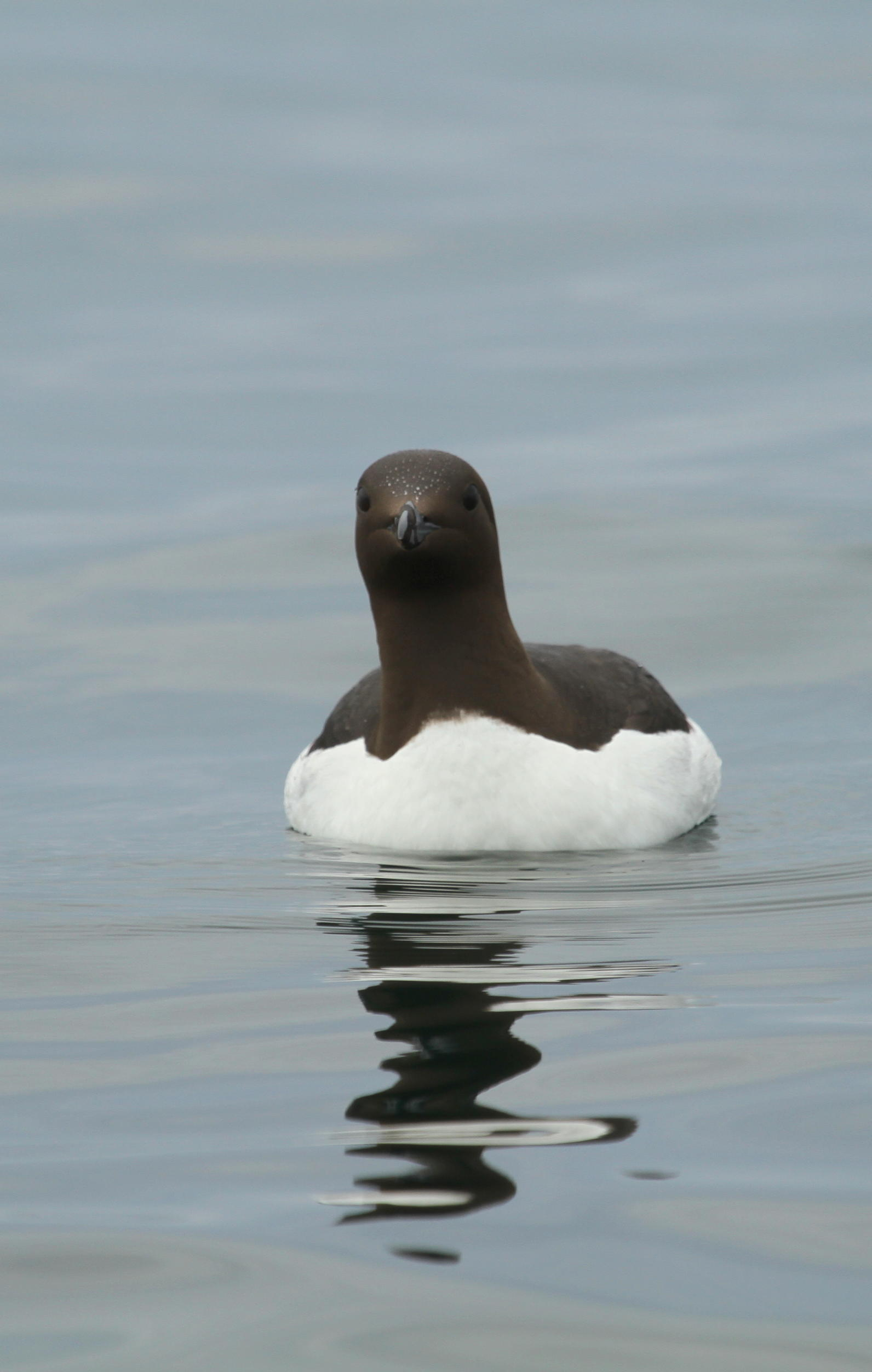 Common Murre on Water