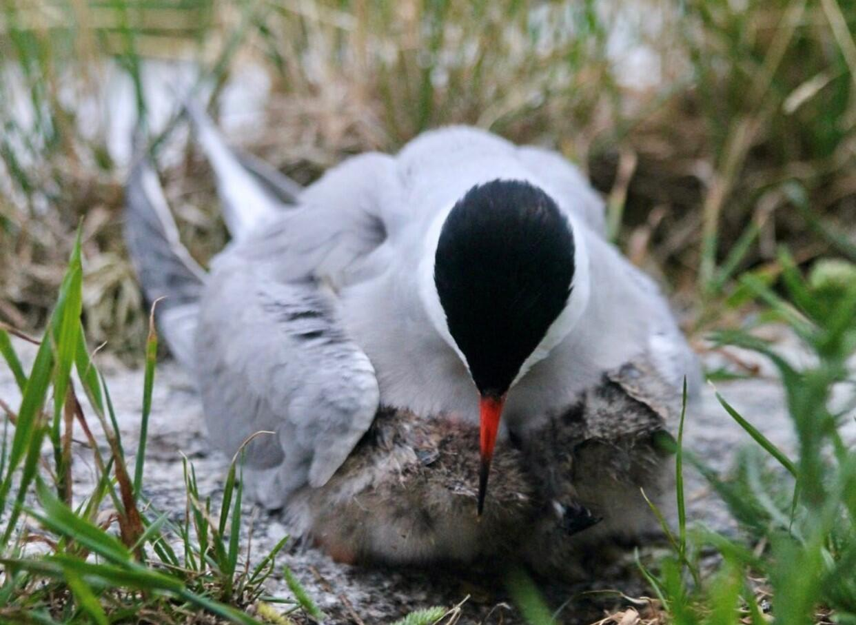 Two Common Tern chicks huddle beneath their parent to stay dry and warm