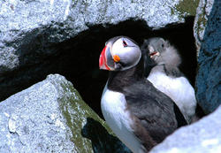 Puffling Fledger with Adult