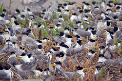 Great Crested Tern and Chinese Crested Tern Dense Colony at Teidun Dao