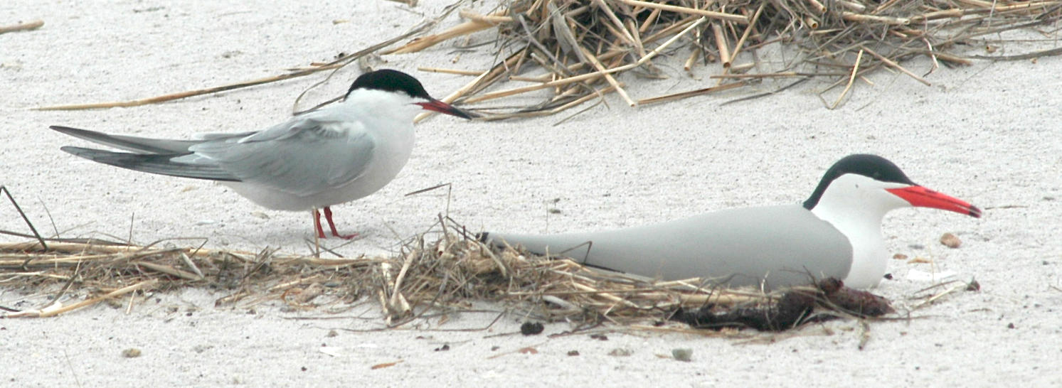 Common Tern with Decoy