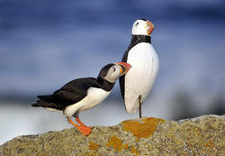 Puffin with Decoy