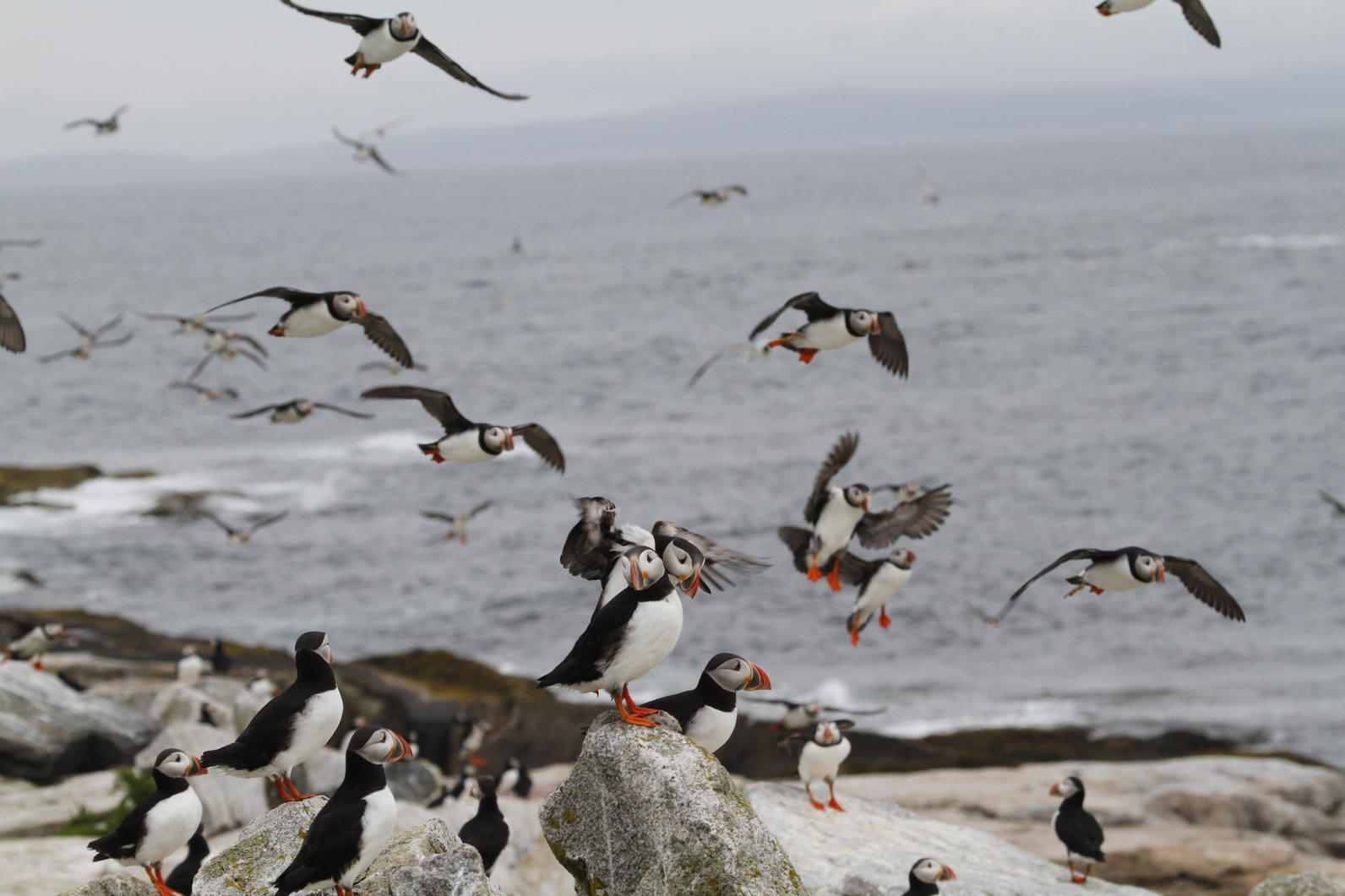 Large number of Atlantic Puffins