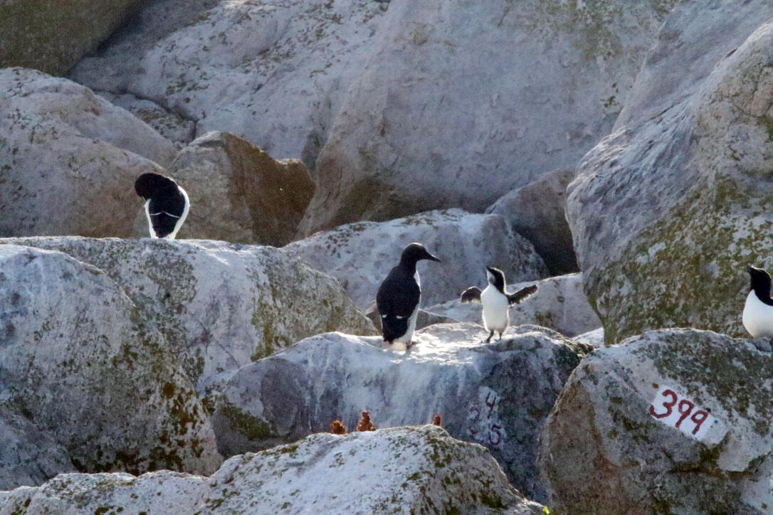 A Common Murre chick stretches its wings while being supervised by its parent on Matinicus Rock