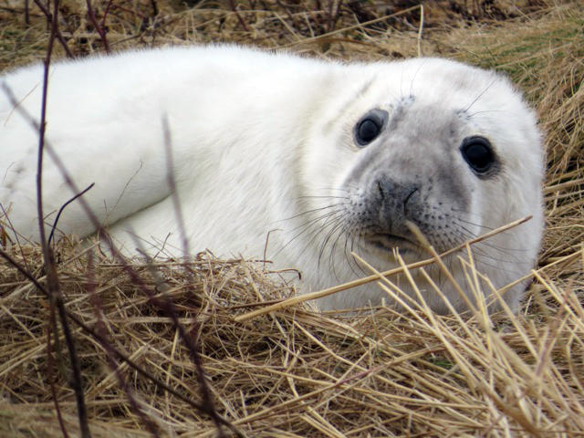 Newborn White Gray Seal Pup at Seal Island NWR - January 2013