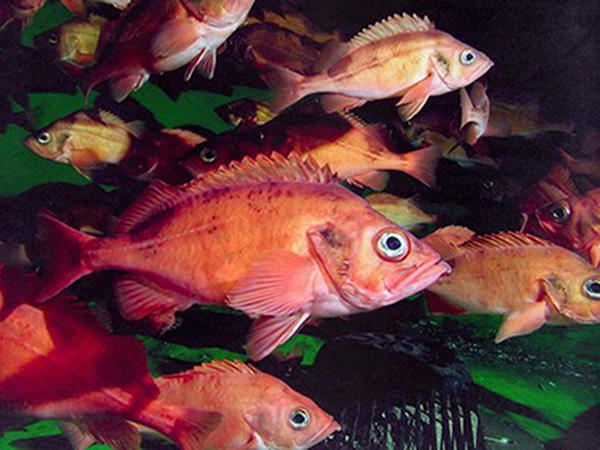 Ocean Perch in Grocery