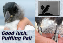 Puffin Pal Fledges