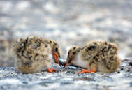 Pond Island Tern Chicks With Fish