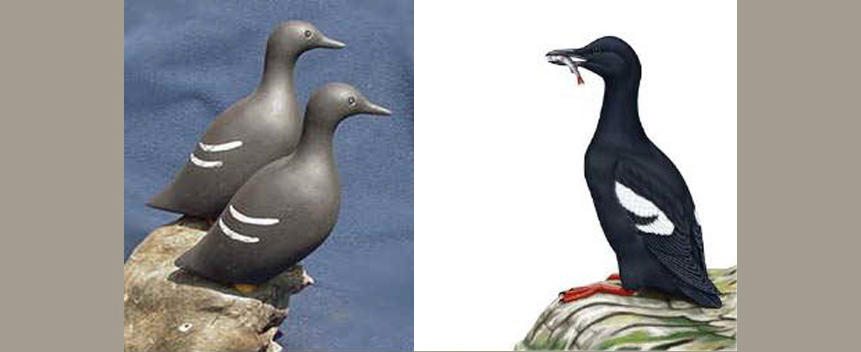 Pigeon Guillemot Main Page Photo