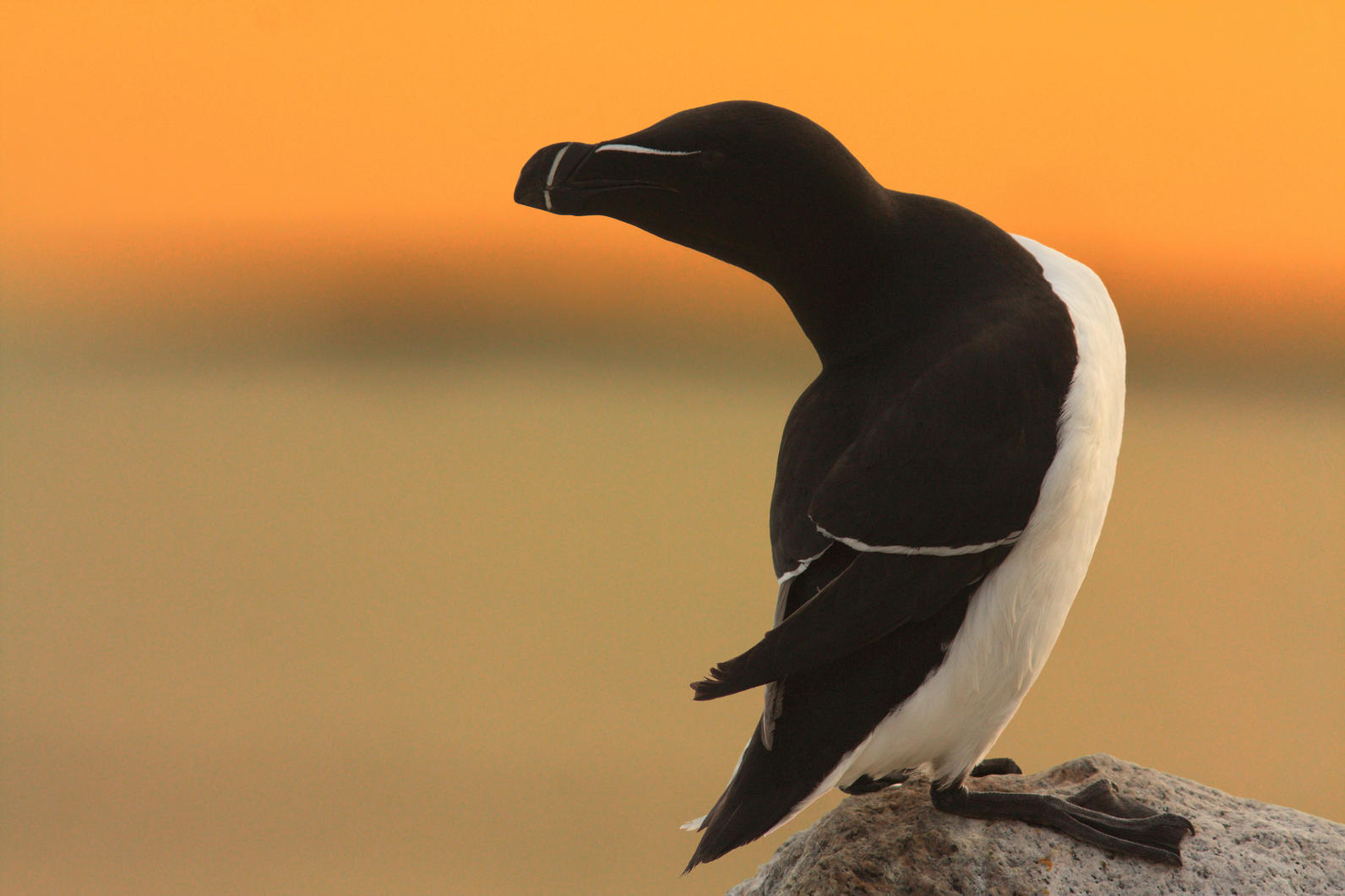 Razorbill on Matinicus Rock